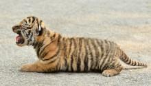 bengalischer tiger shutter